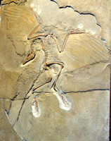 Archaeopteryx at Berlin Natural History Museum