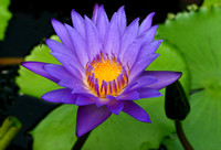 Waterlilies, lotuses and dragonflies