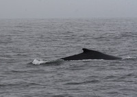 Humpback Whale, Monterey Bay