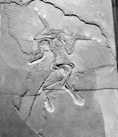 Archaeopteryx, complete fossil.