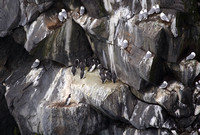 Common Guillemot colony