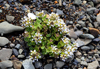 Common Scurvygrass, Stykkisholmur