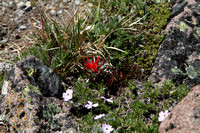 Dwarf Indian Paintbrush on First Burroughs