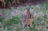 One of the surviving bunny pair
