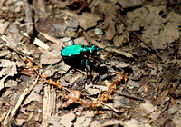 6-spotted Tiger beetle,     Congaree NP