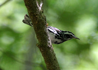 Black and White Warbler,  Congaree NP