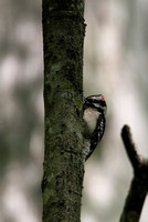 Downy Woodpecker, Francis Beidler Forest (4-Hole Swamp)