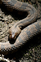 Cottonmouth, Francis Beidler Forest (4-Hole Swamp)