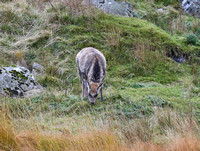 """Red-like"" deer at Glendalough"