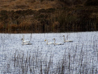Whooper Swan family on L. Seecon, east Connemara