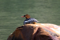 Common Merganser, Glacier NP, MT
