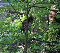 Barred Owl, Greenville