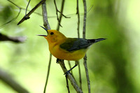 Prothonotary Warbler,  Congaree NP