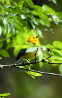 Prothonotary Warbler at 4-hole Swamp