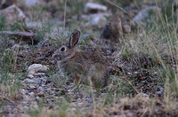 Western Cottontail