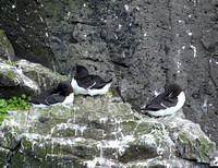 Brunnich's Guillemot (Thick-billed Murre; left and right), Razorbill (centre)