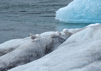 Cool hangout for gulls, Jokulsarlon