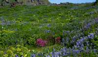 Meadow of lupins, angelica and red campion.