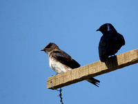 Purple Martins, Edisto Island