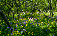 Geraniums and buttercups in the birch wood