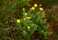 Shrubby Cinquefoil (Potentilla fruticosa) at Tablelands